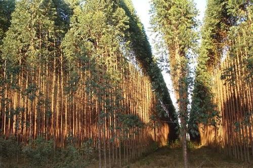 florestal-eucalipto