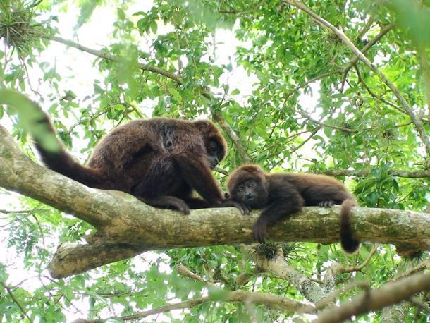 macacos-febre-amarela