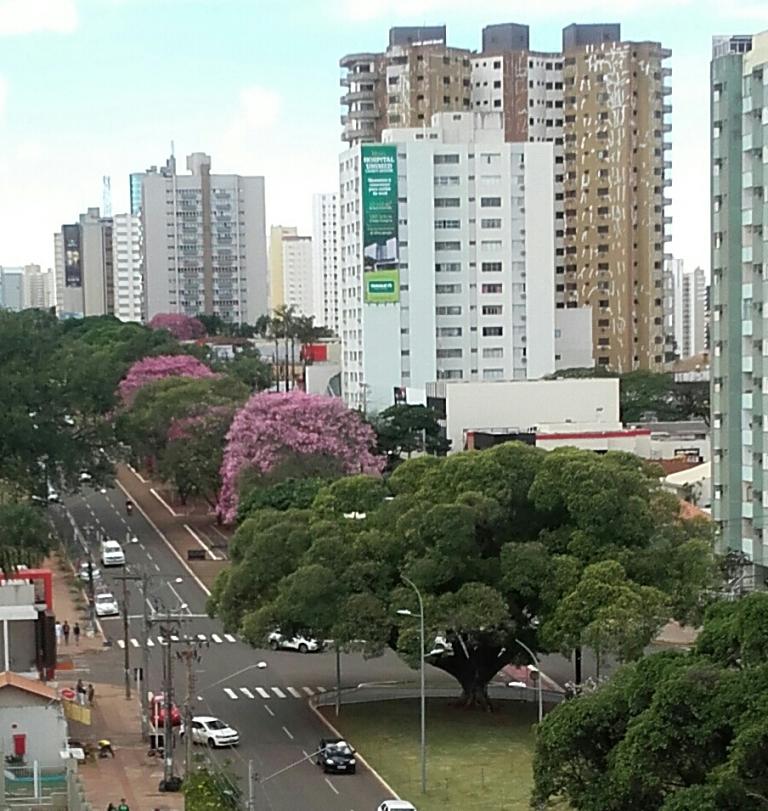 Ipês na Avenida Afonso Pena em Campo Grande, MS